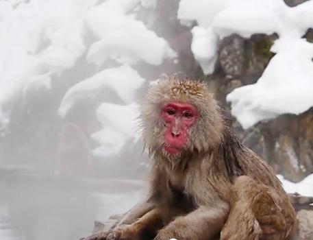 일본 나가노현의 온천욕을 즐기는 원숭이들